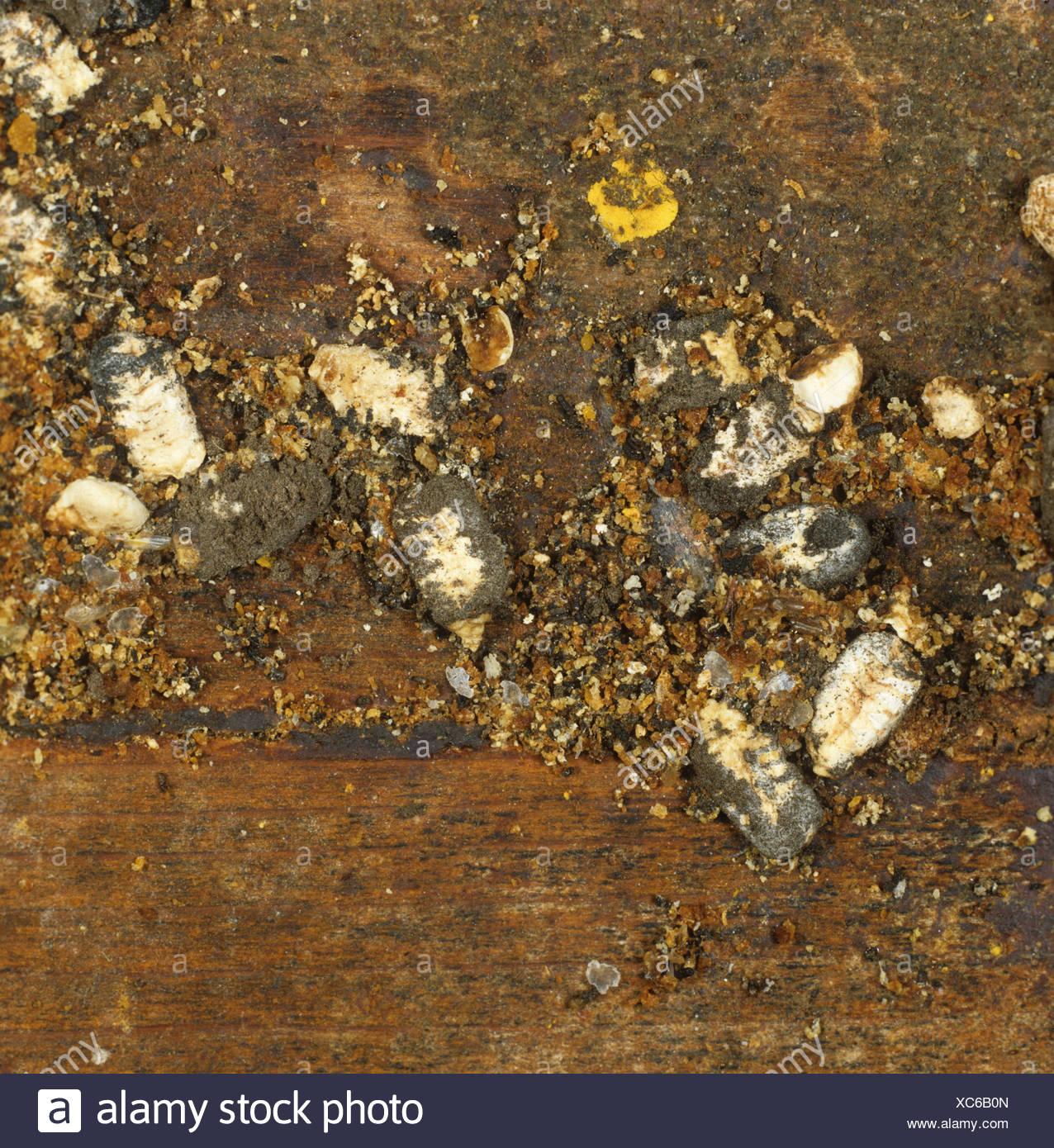 Chalk brood mummies and wax moth larvae among honey bee hive debris - Stock Image