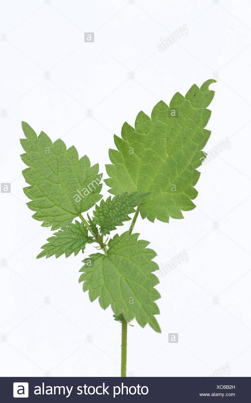 Small stinging nettle, leaves, cut outs, - Stock Image