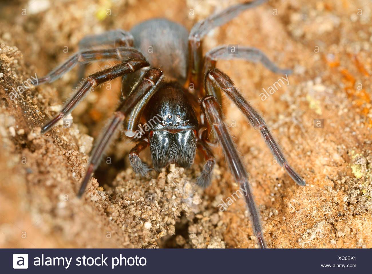 Finsterspinnen (Amaurobiidae), auf dem Boden, Oesterreich   white-eyed spiders (Amaurobiidae), on the ground, Austria   BLWS4224 - Stock Image