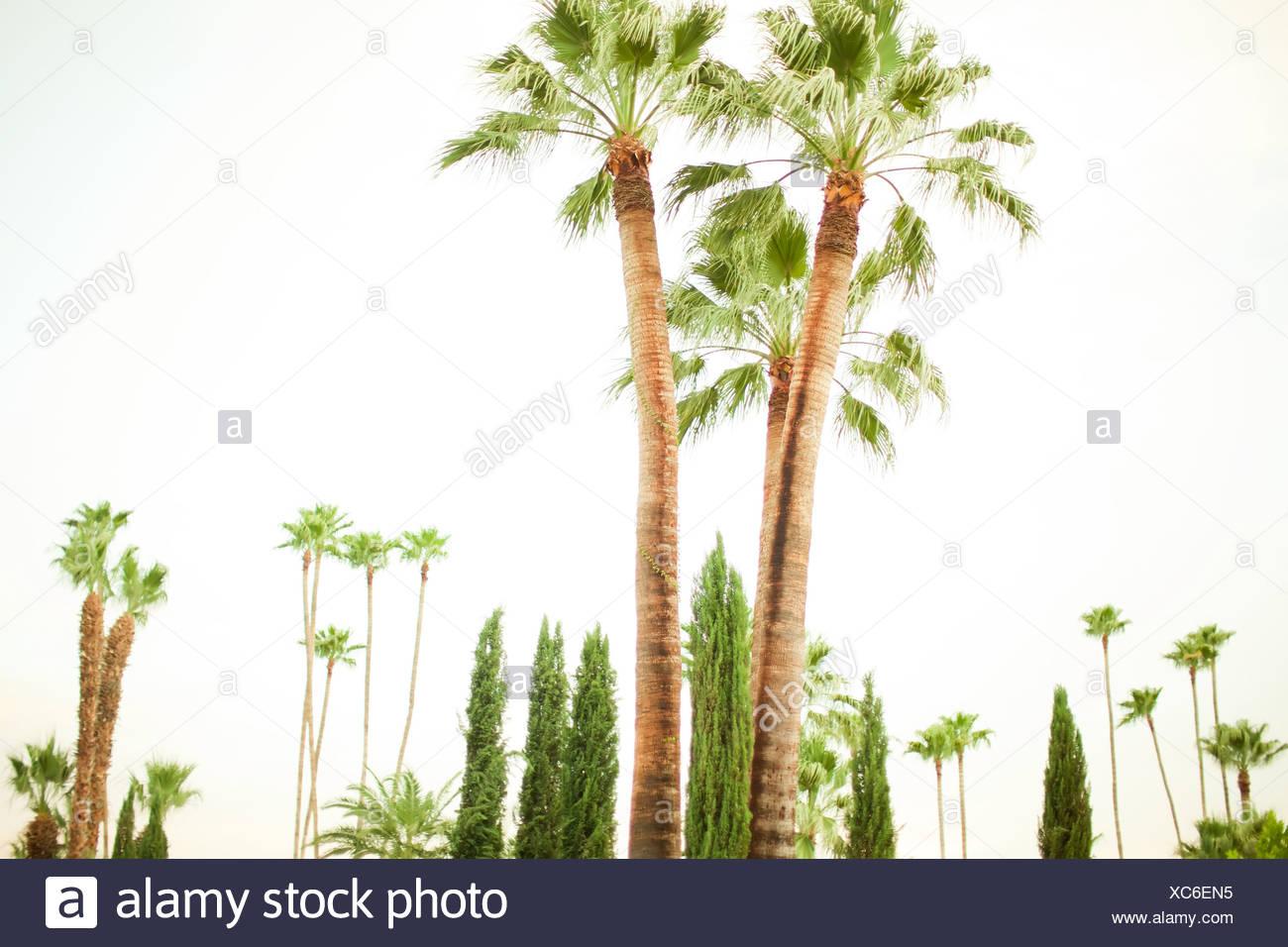 Palm trees, Palm Springs, California, USA - Stock Image