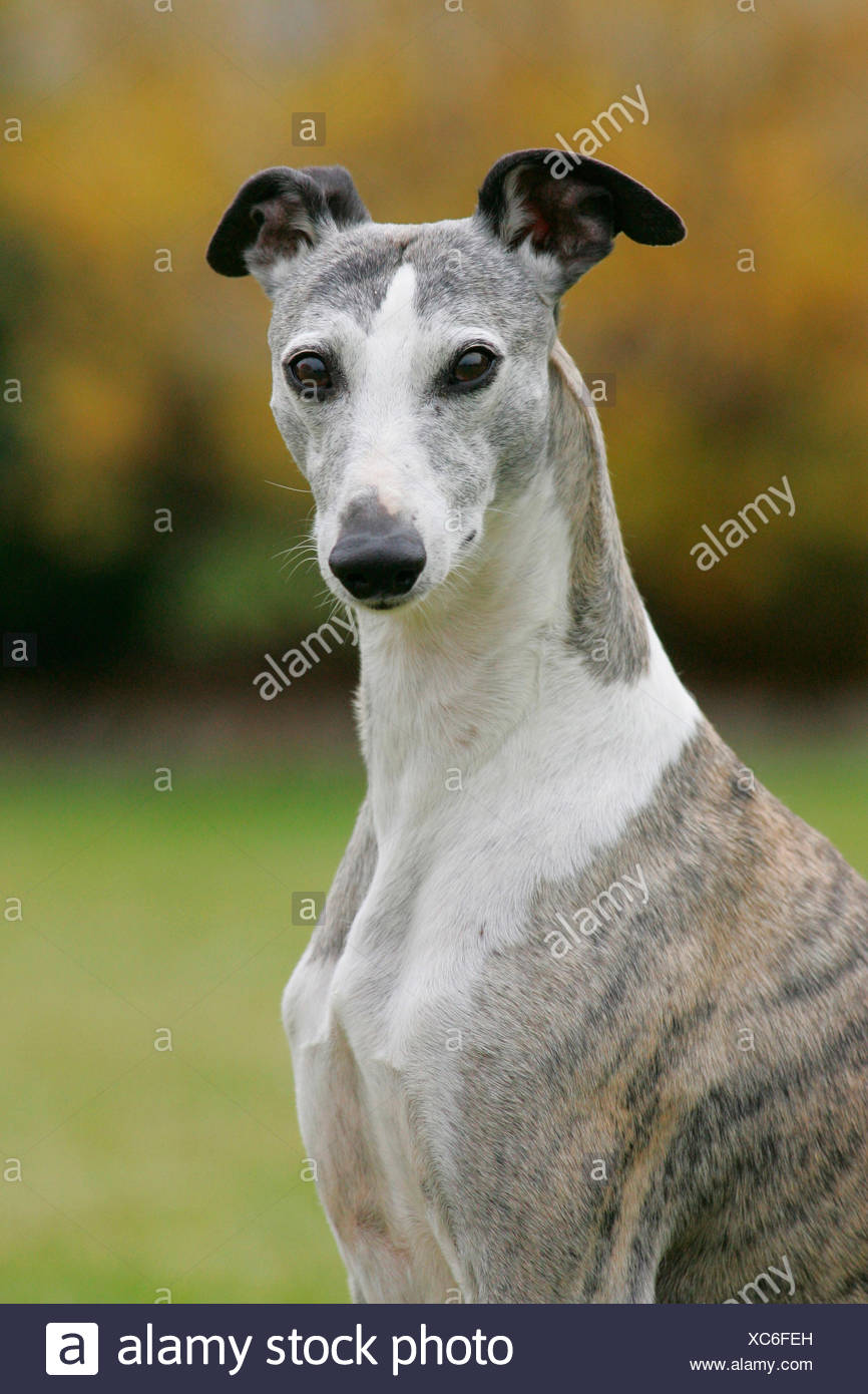 English Whippet. Portrait of adult. Germany - Stock Image