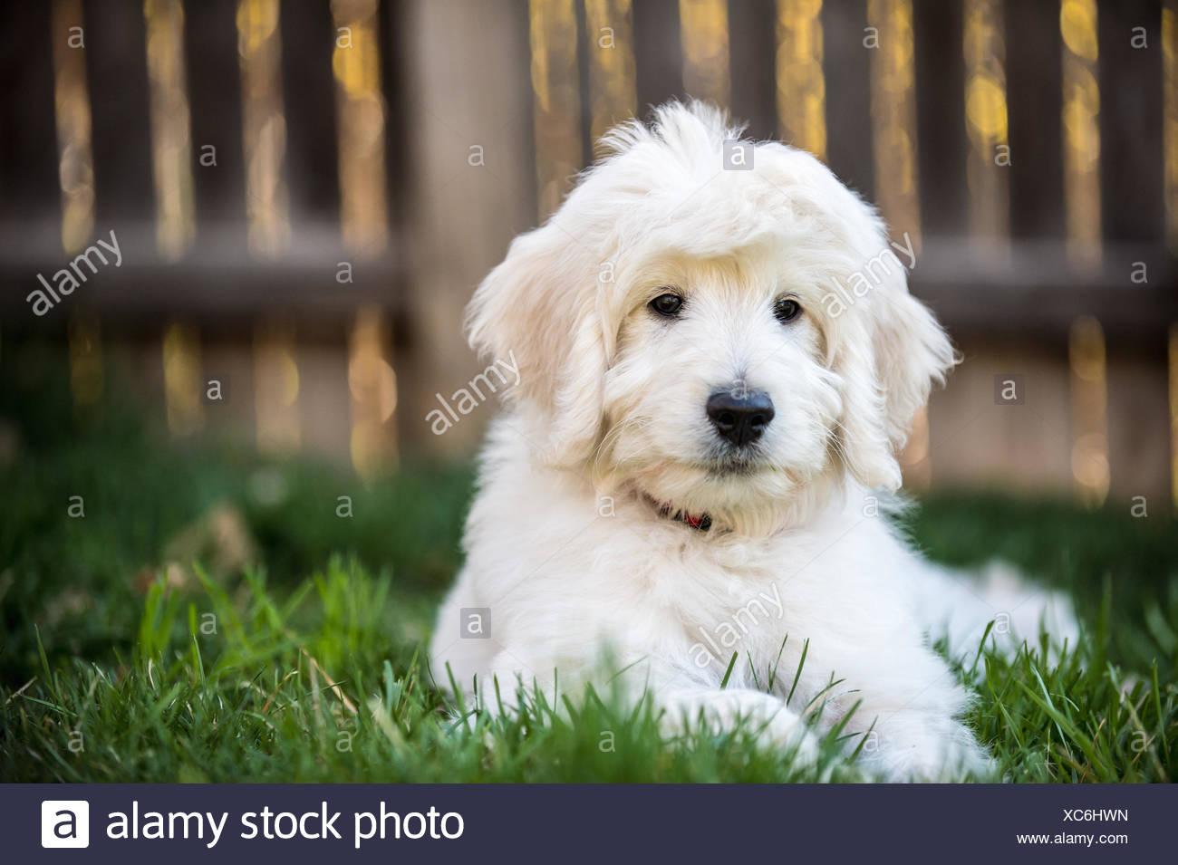 Portrait Of English Goldendoodle Puppy Stock Photo 282887521 Alamy