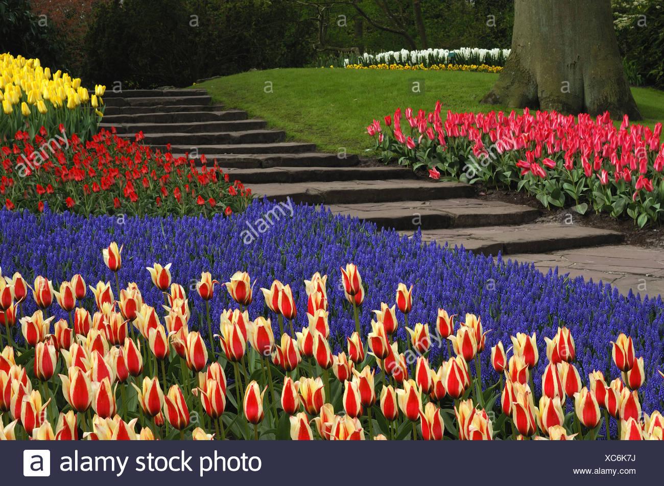 common garden tulip (Tulipa gesneriana), flowerbed with tulips and grape hyacinths, Muscari botryoides, Netherlands, Keukenhof Stock Photo