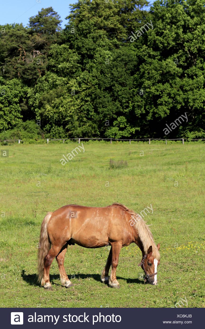 Einzelnes Pferd weidet auf einer Wiese - Stock Image