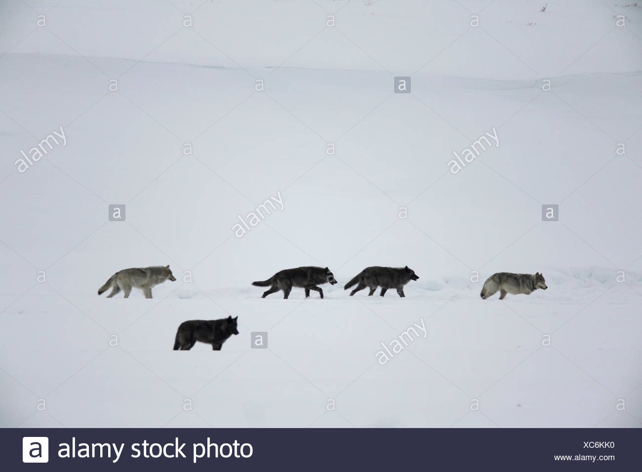 The Lamar Canyon Wolf Pack travels through Yellowstone's Lamar Valley in winter. - Stock Image