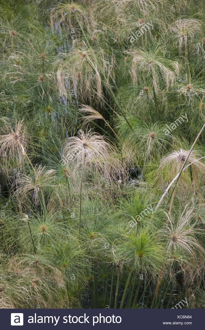 Papyrusstauden, Detail,    Natur, Botanik, Vegetation, Pflanzen, Papierstauden, Cyperus papyrus, Zypergras, Gräser, Stauden, Riedgräser, Wasser, außen, Stock Photo