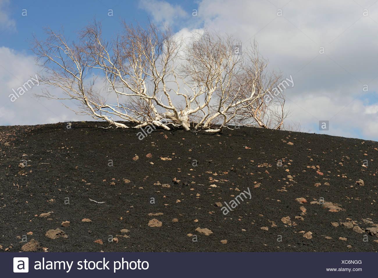 Etna Birch (Betula aetnensis), Parco dell'Etna, Sicily, Italy - Stock Image