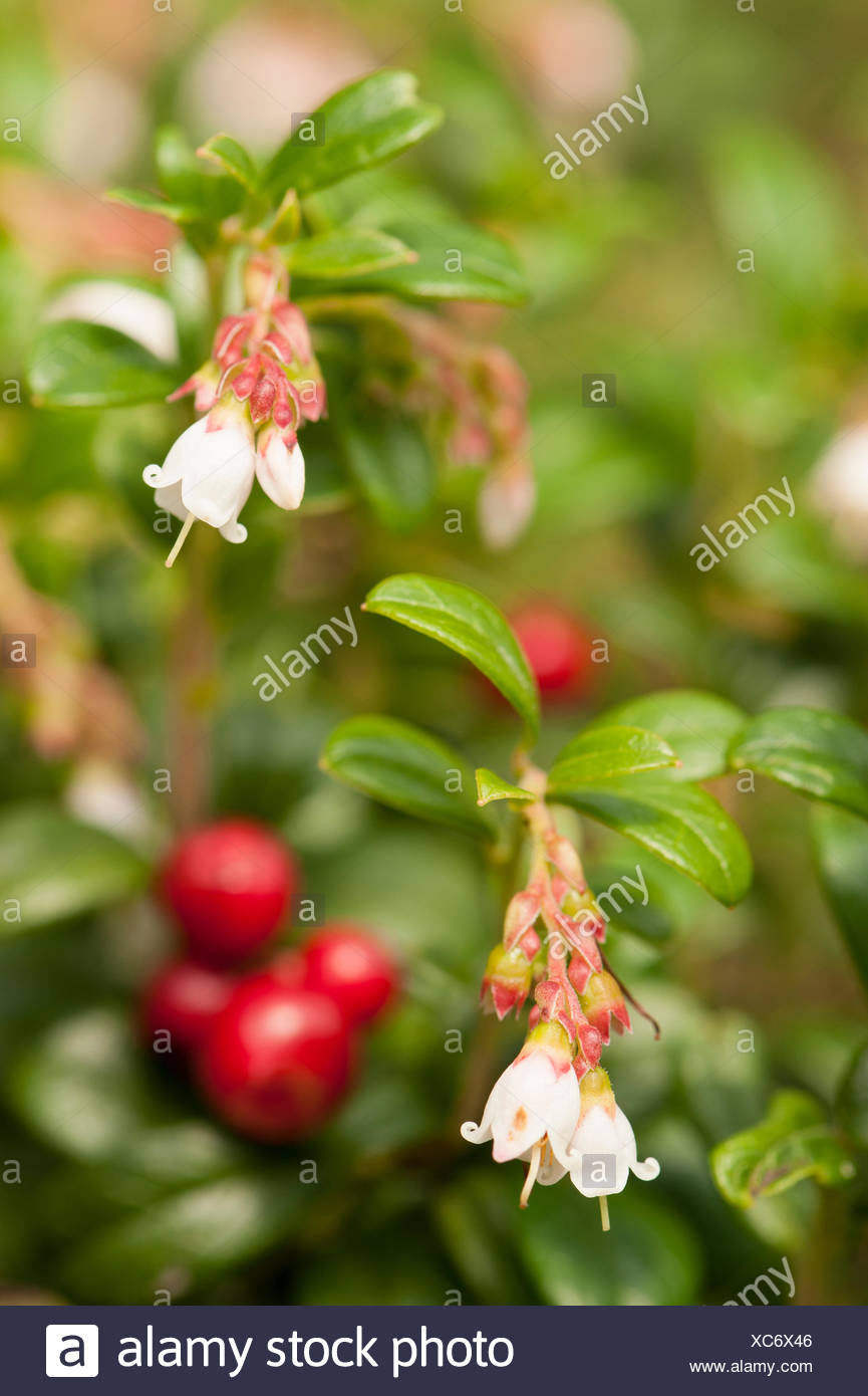 Flowering lingonberry with berries - Stock Image