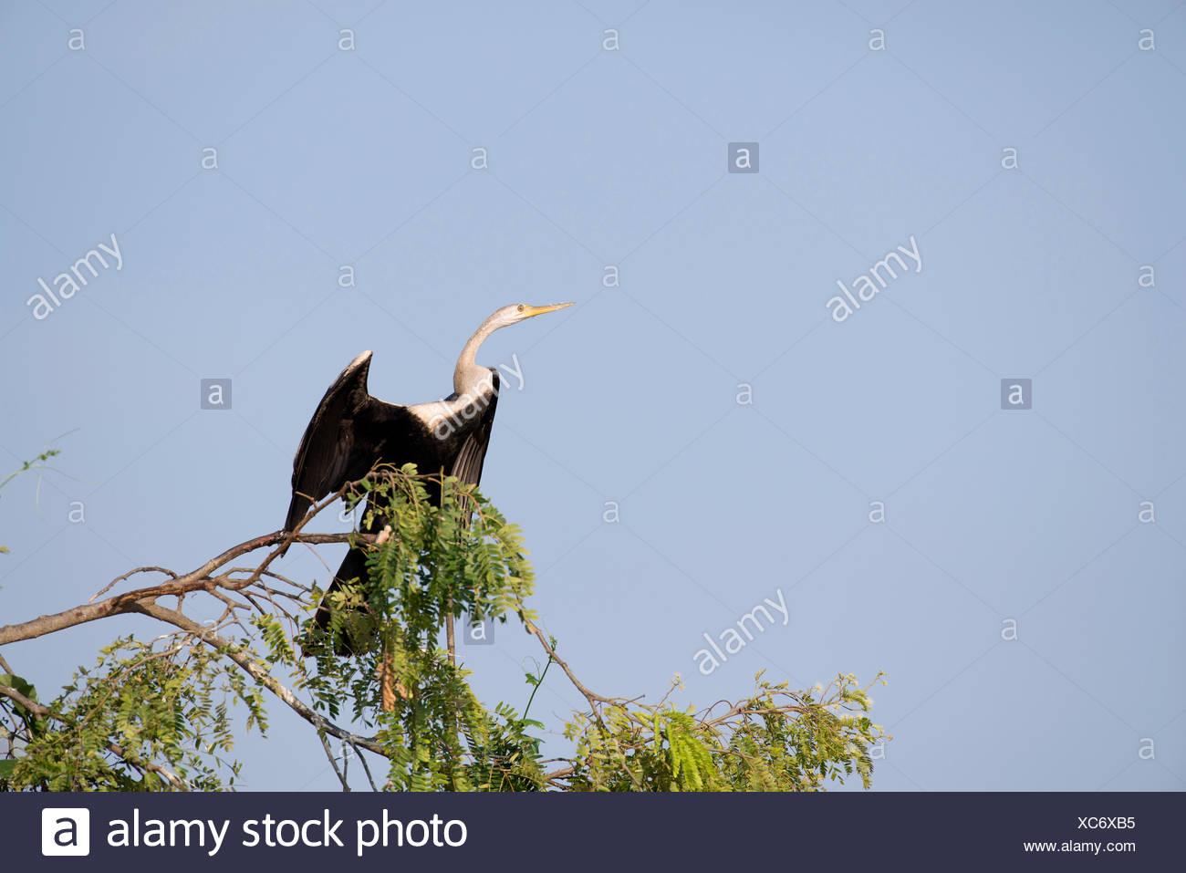 Oriental darter, Thailand, Anhinga, bird, palmipede, anhinga melanogaster - Stock Image