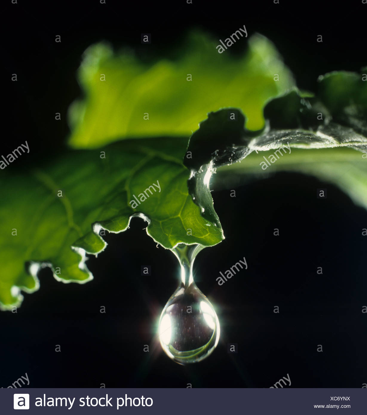 Water droplet rolling off a sugar beet leaf.  The drop is at the point of falling - Stock Image