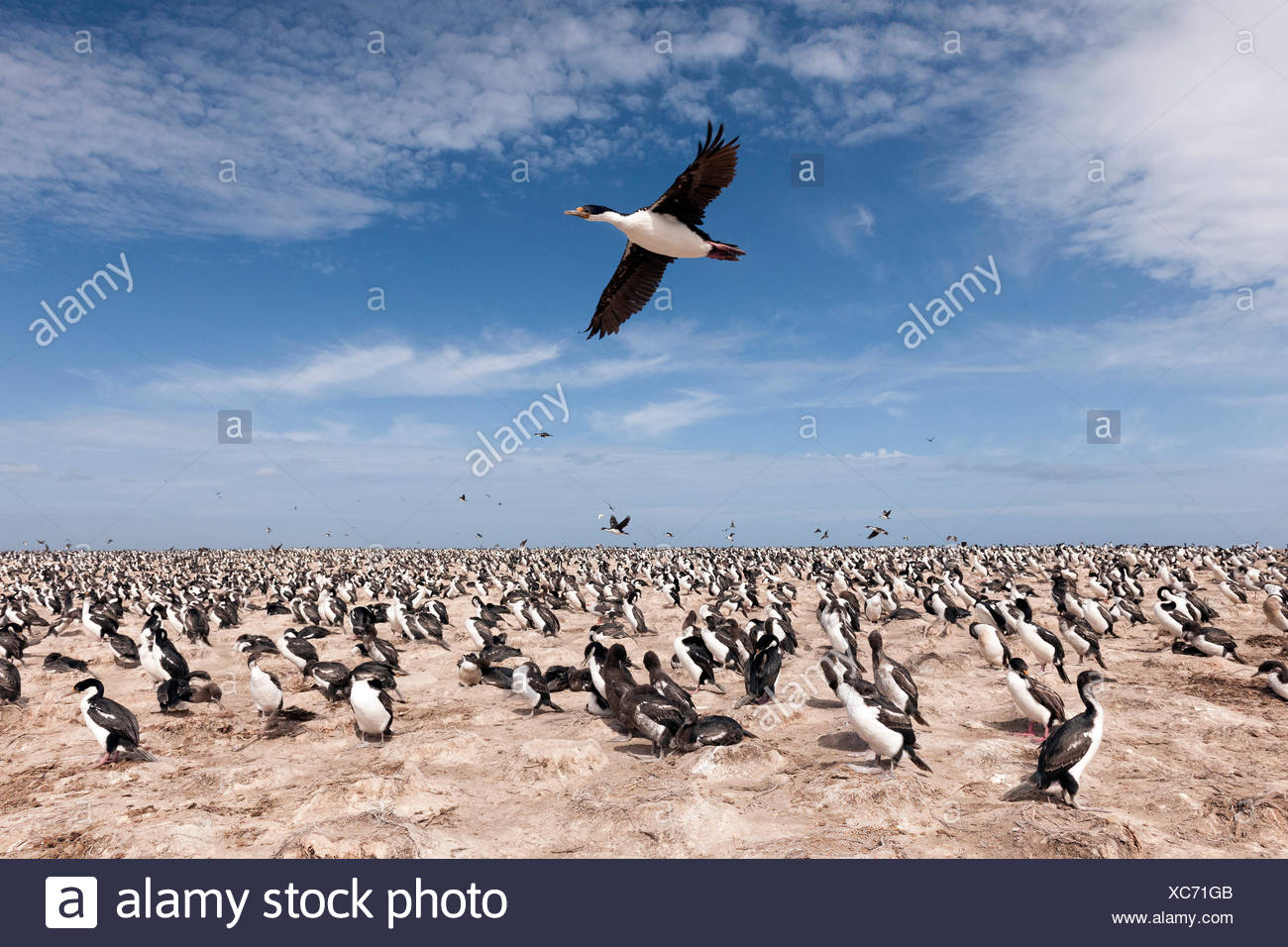 Imperial shag (Phalacrocorax albiventer) flying over the colony, Bleaker Island, Falkland Islands - Stock Image