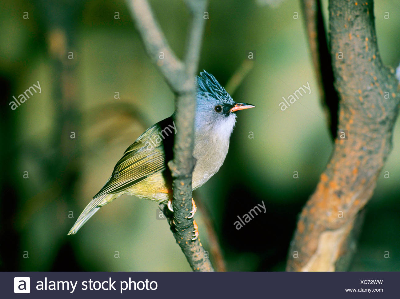 black-chinned yuhina (Yuhina nigrimenta), sits on a branch in a tree - Stock Image