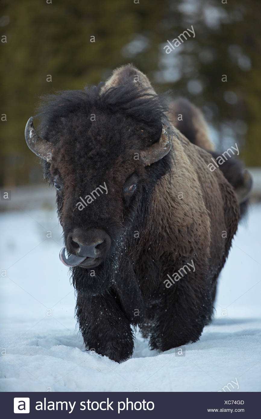 An American bison, Bison bison, walks in the snow. - Stock Image