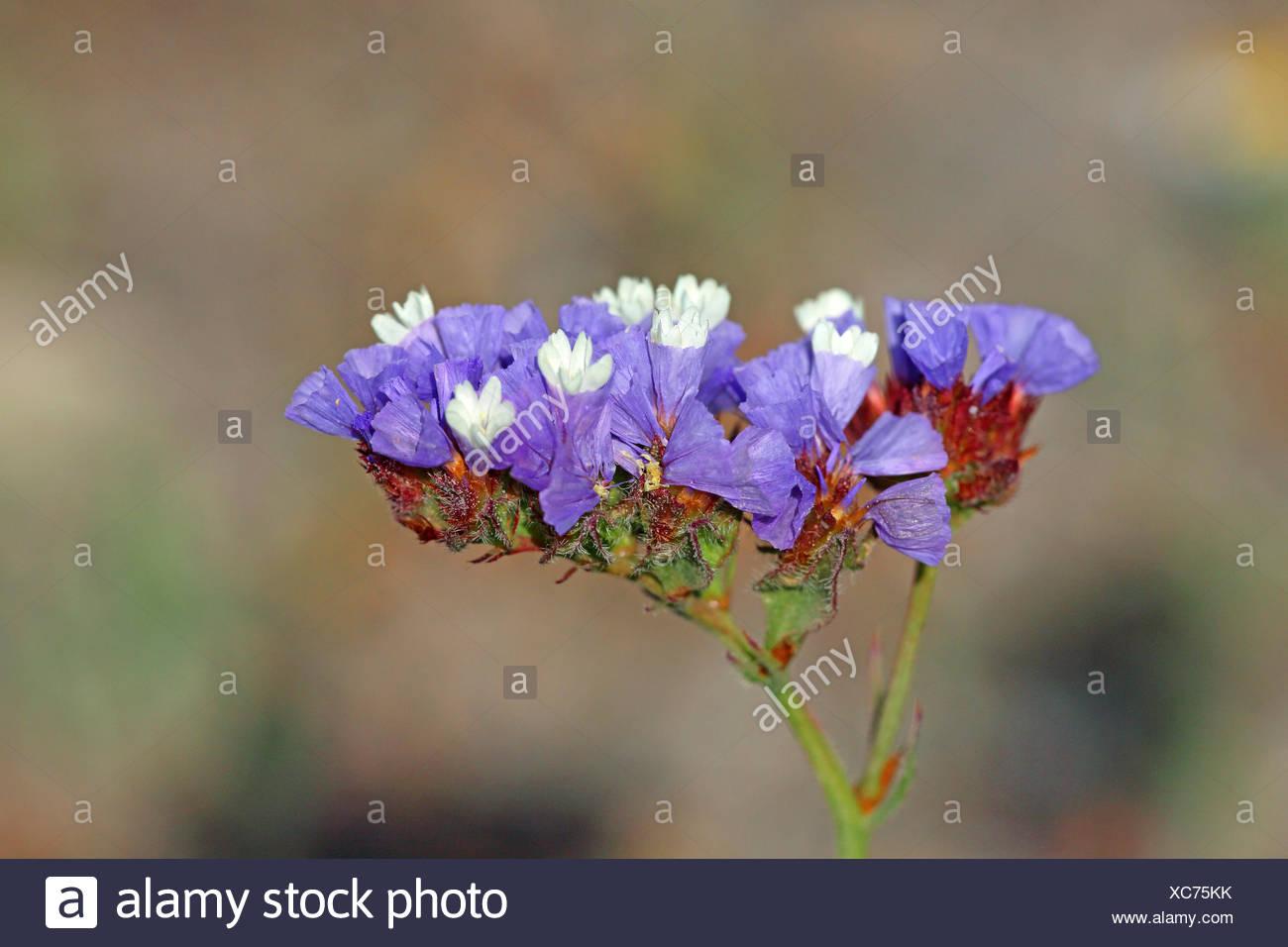 sinuata statice, perennial sea-lavender, winged sea-lavender, wavyleaf sea-lavender (Limonium sinuatum), blossom, Greece, Lesbos - Stock Image