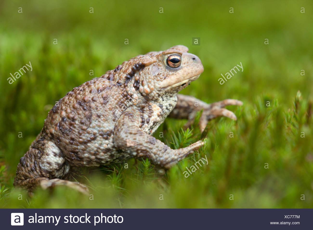 gewone pad; bufo bufo; common toad; common european toad; crapaud commun; erdkröte; bufonidae; pad; padden; toad; toads; amfibie; amfibieen; amphibian; amphibians; bruin; brown; wrattig; wart; beschermd; protected; niet bedreigd; flora- en faunawet; tabel 1; ffwet; mating; migratie; paddentrek; migration; voorjaar; - Stock Image