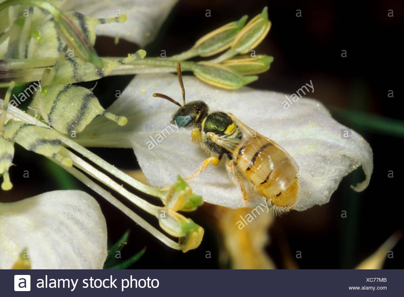 Sweat bee (Nomioides minutissima, Nomioides minutissimus), on Nigella arvensis, Germany Stock Photo