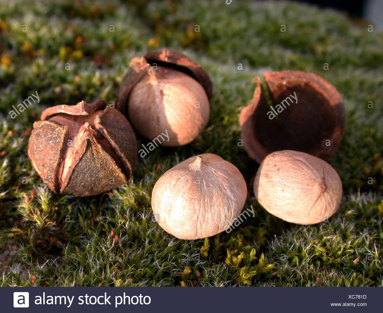 bitter-nut hickory, bitternut hockory (Carya cordiformis), Nuts with husks Stock Photo