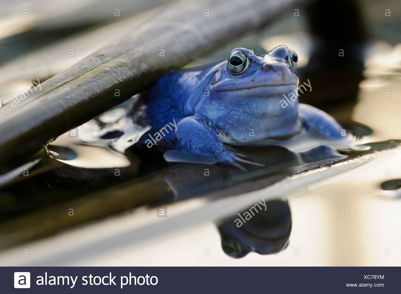 moor frog, male at mating season, rana arvalis, lower saxony, germany - Stock Image