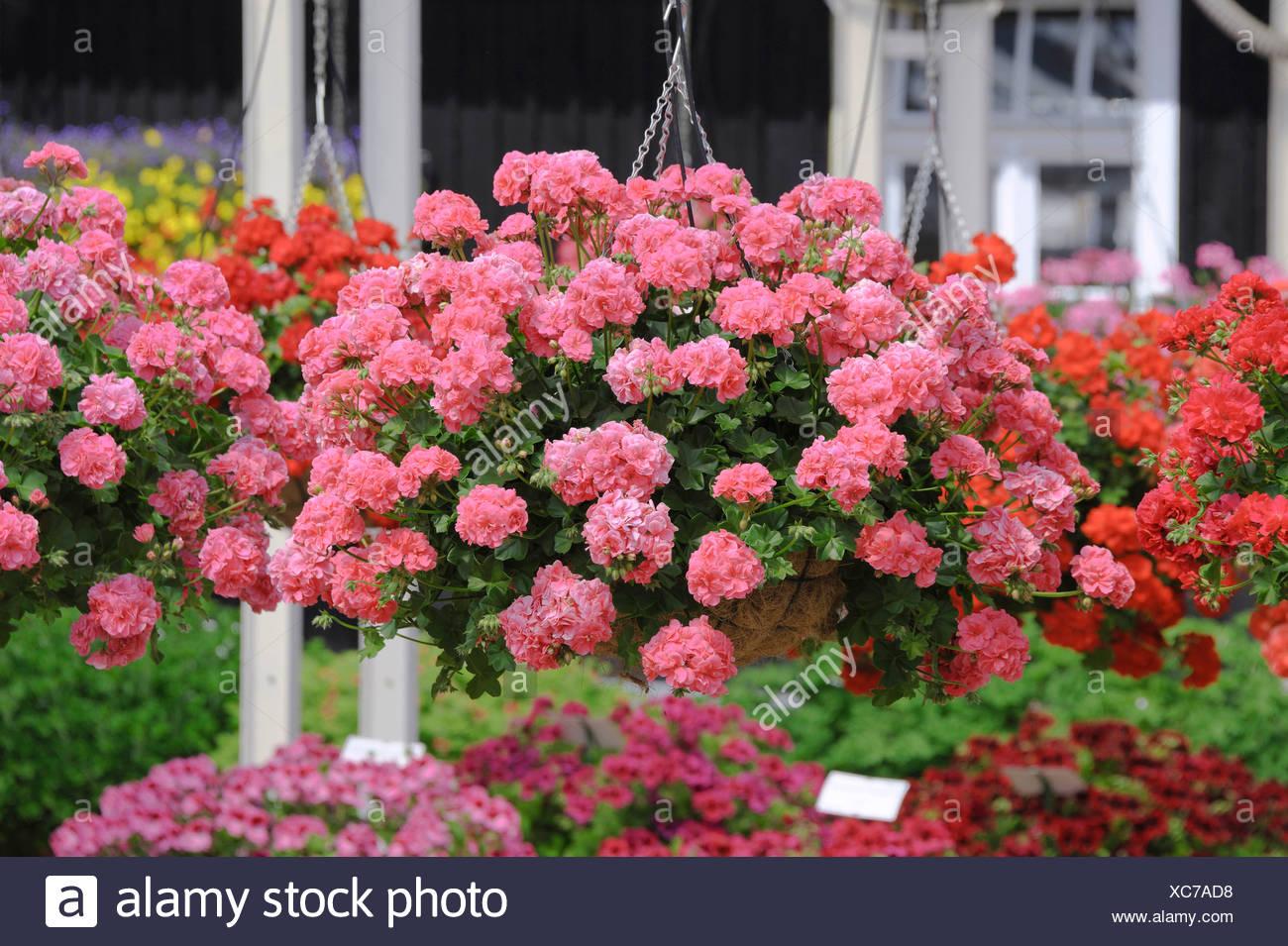 Pelargonium (Pelargonium peltatum 'Vicky', Pelargonium peltatum Vicky), cultivar Vicky - Stock Image