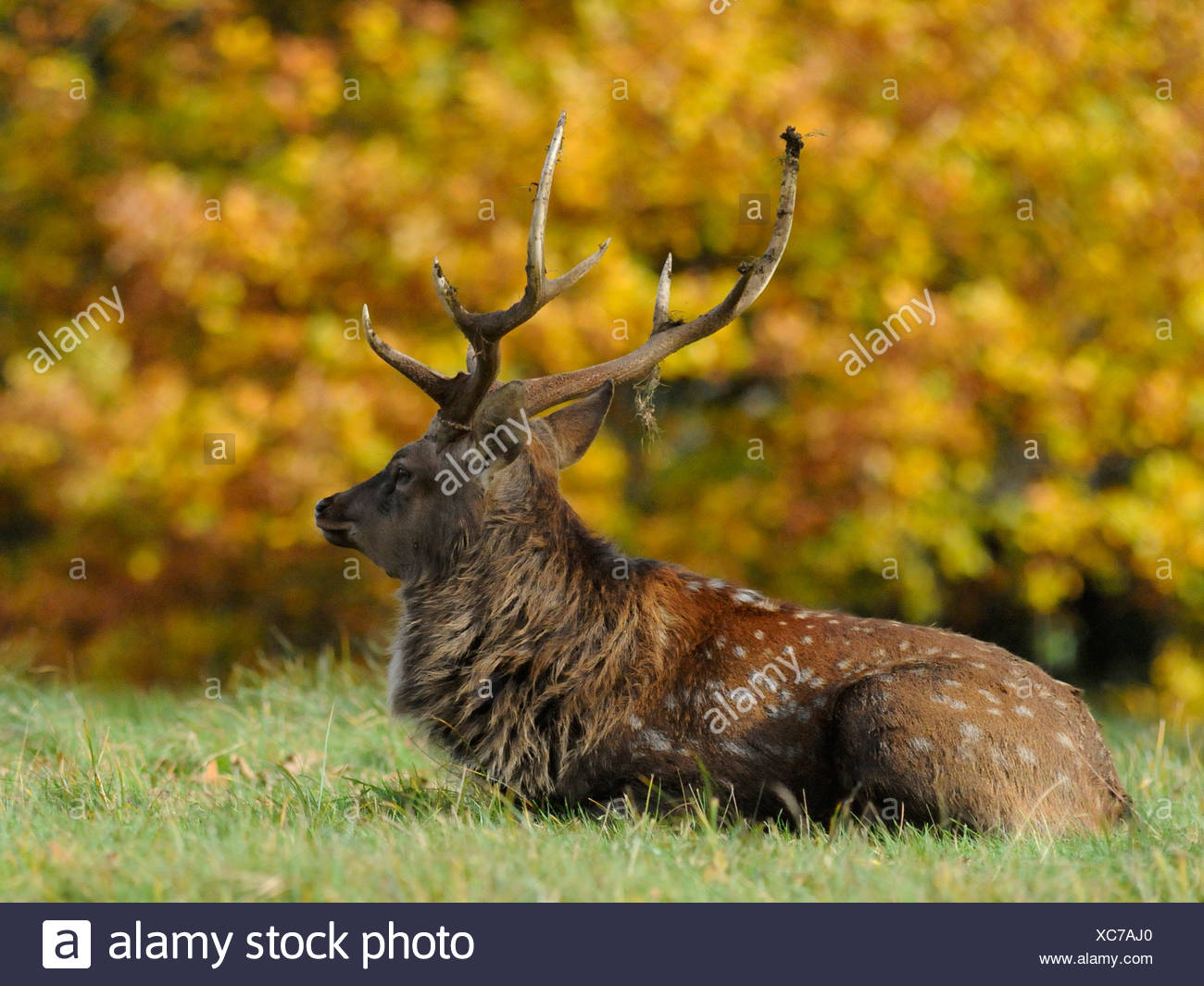A red deer relaxing against Autumn foliage. - Stock Image