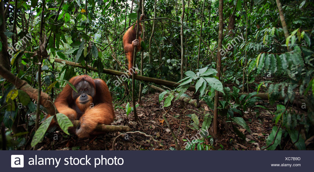 """Sumatran orangutan (Pongo abelii) mature male """"Halik"""" aged 26 years sitting in forest clearing watched tree by female """"Juni"""" aged 12 years. Gunung Leuser National Park Sumatra Indonesia. Rehabilitated released (or descended those which were released) betw Stock Photo"""