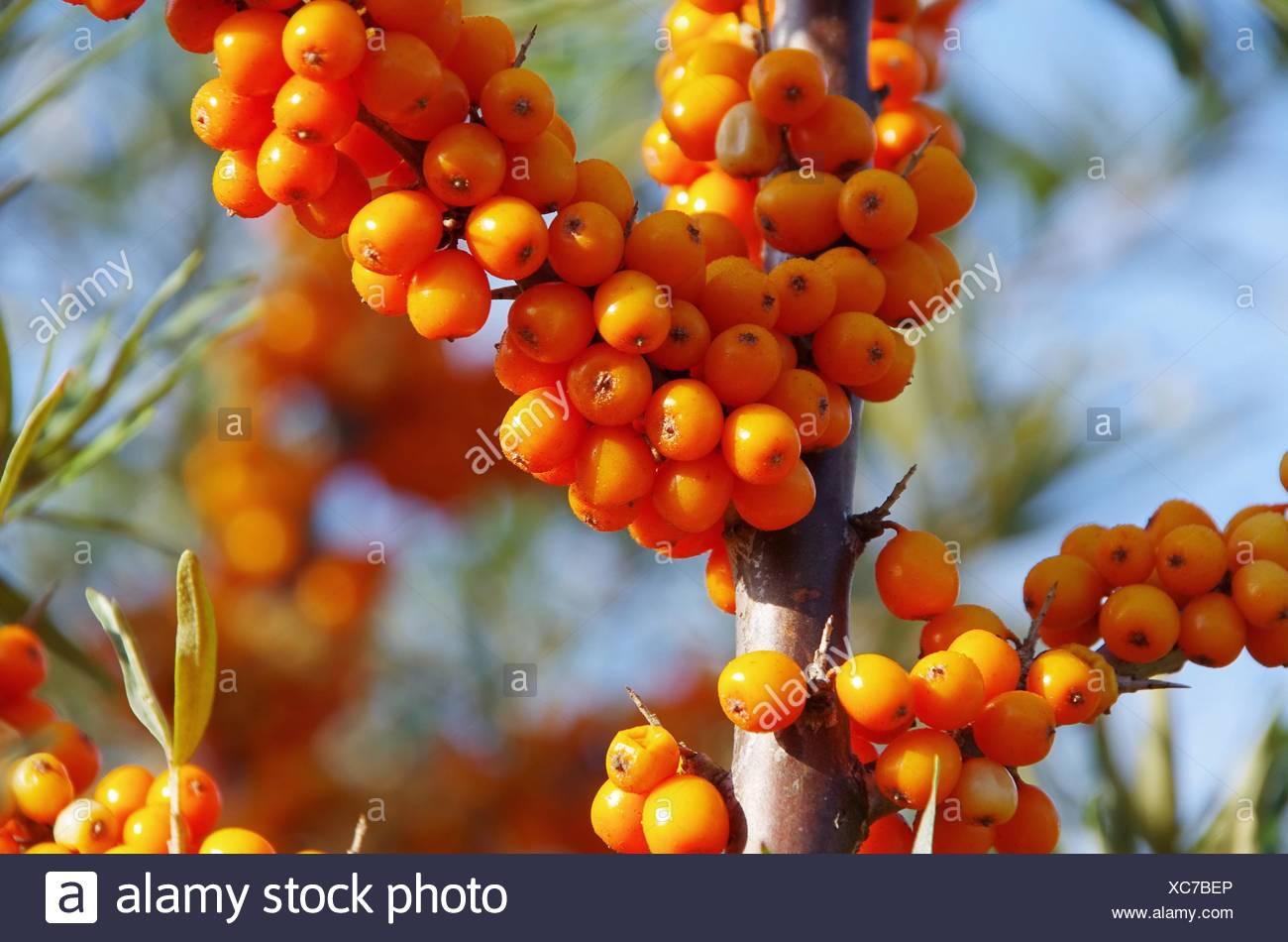 Orange Fruit Bush Berries Berry Sallow Thorn Buckthorns