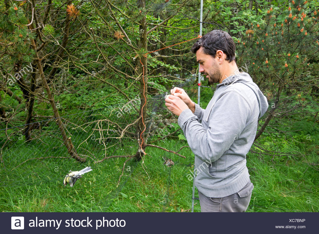 Passerine banding captured by net - Alsace France Bird Banding with nylon nets for STOC Program: Temporal Monitoring of Common Birds - Stock Image