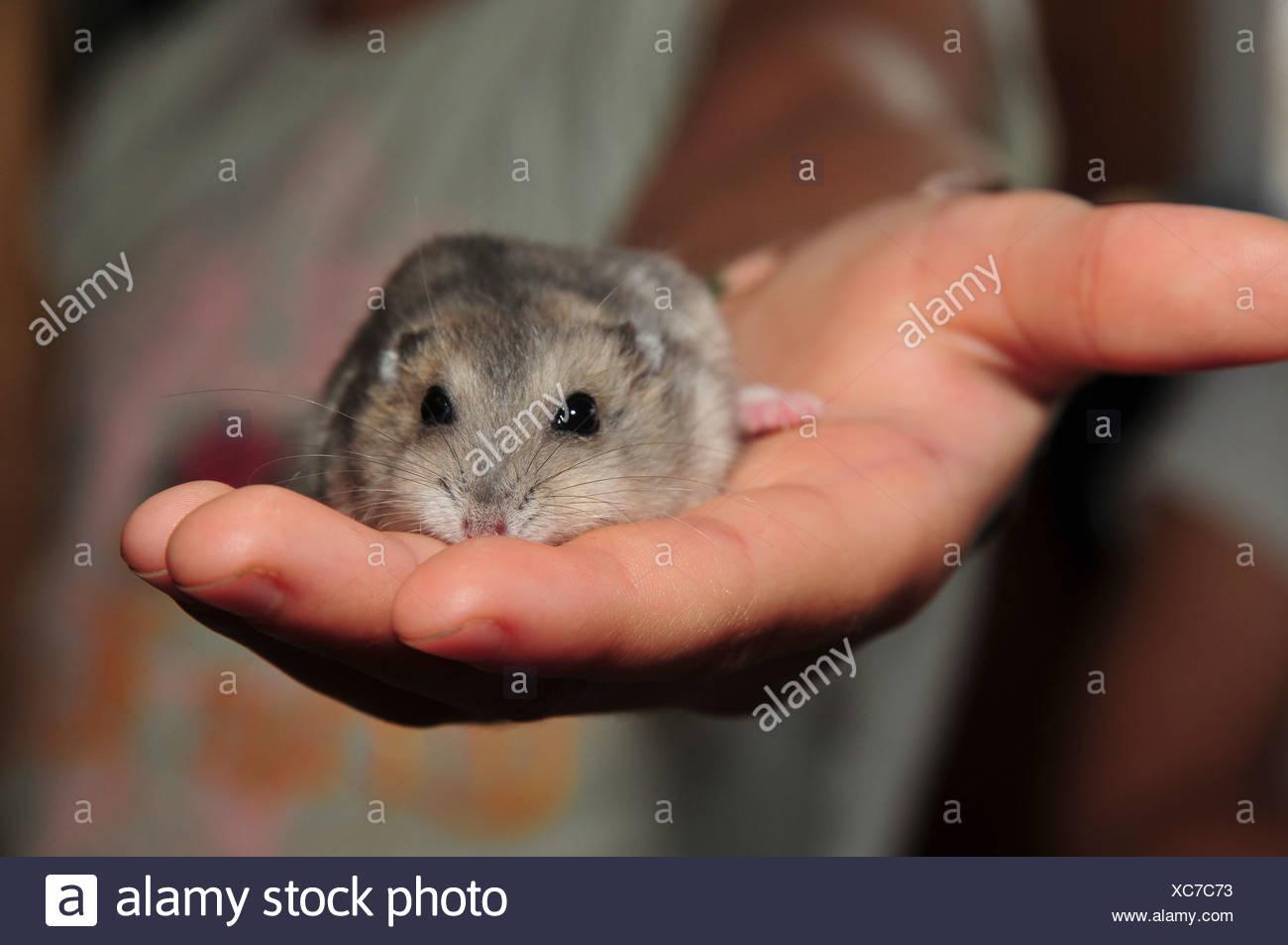 e5b7a5cf183 Pet Winter white Russian dwarf hamsters (Phodopus sungorus) - Stock Image