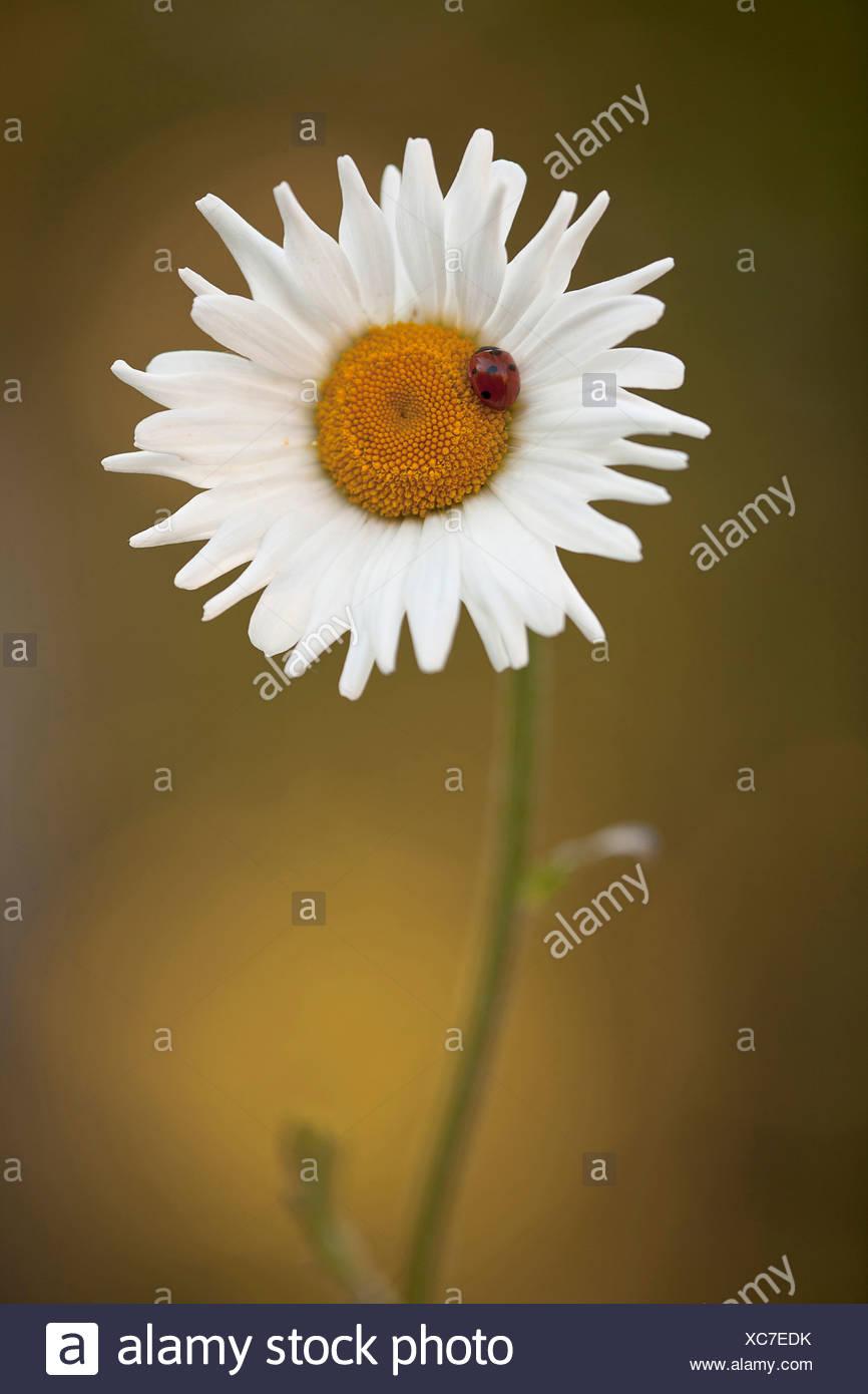 Daisy, Ox-eye daisy, Leucanthemum vulgare, White. Stock Photo