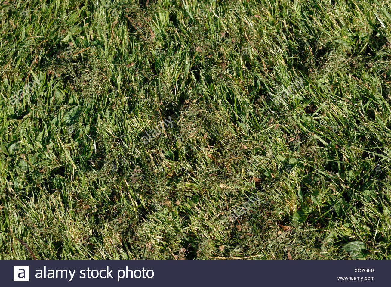 Rough lawn with fine much after mowing with a rotary mulching mower - Stock Image