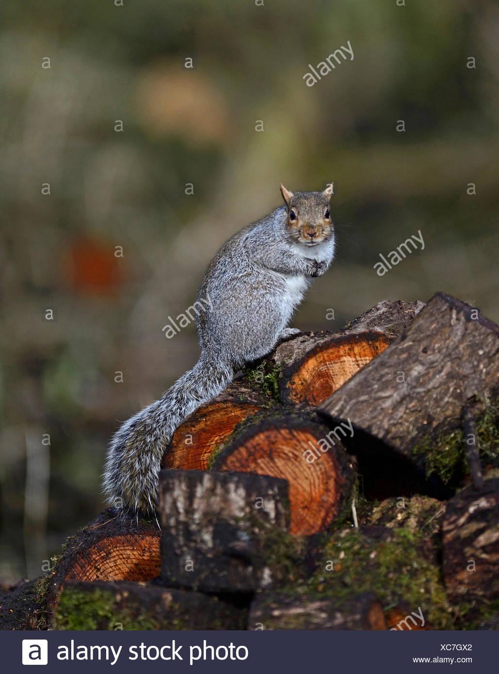 Grey Squirrel Sciurus carolinensis Norfolk winter - Stock Image