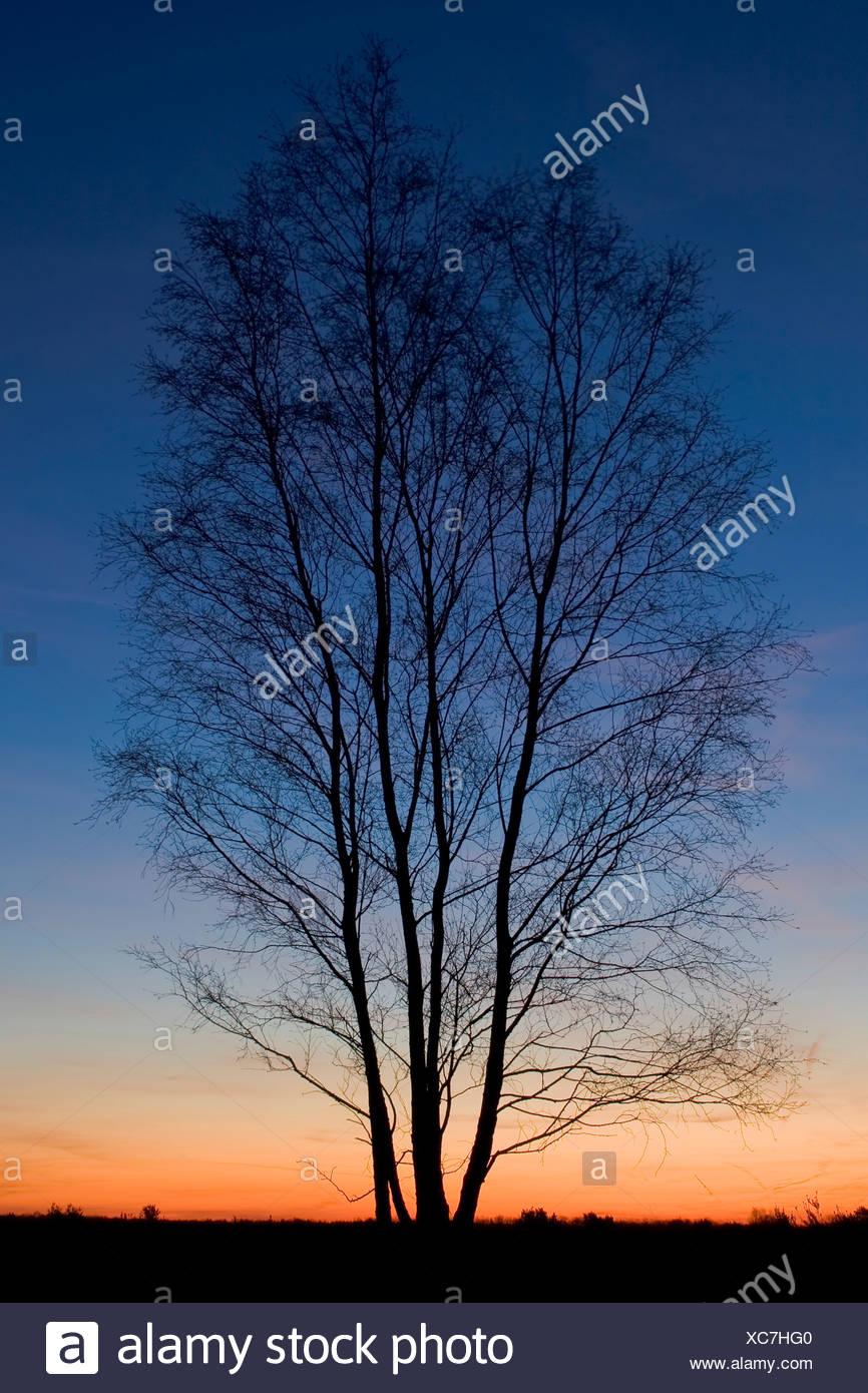 Solitaire berk tijdens zonsondergang - Stock Image
