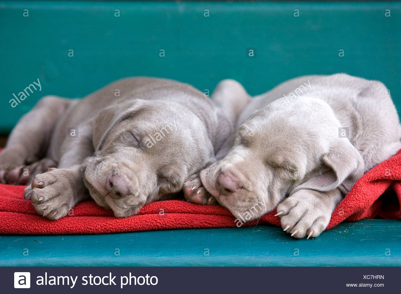 Weimaraner dogs, puppies, sleeping on a bench, North Tyrol, Austria, Europe Stock Photo