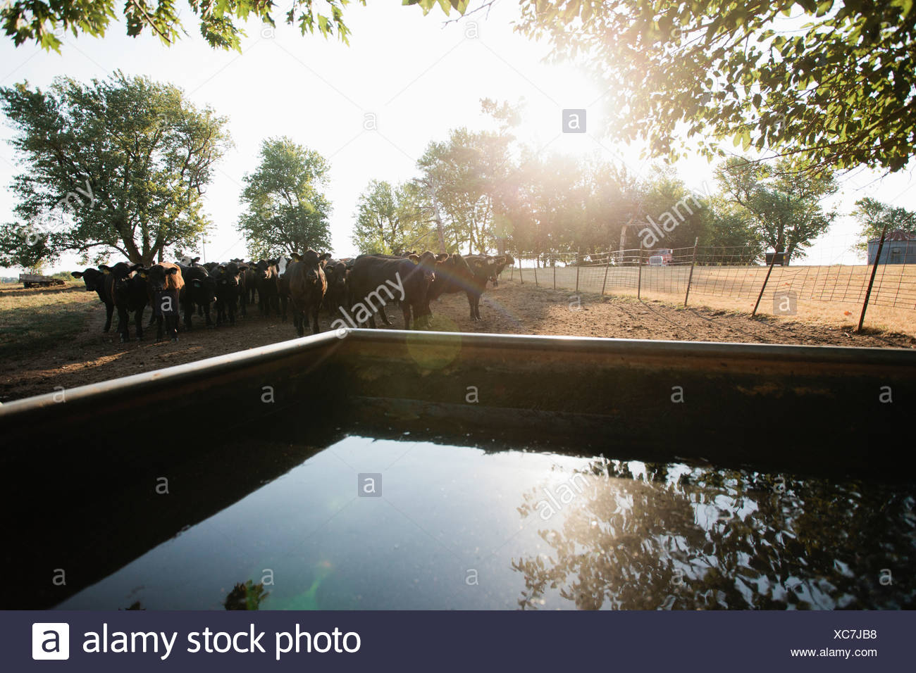Cows in field by water tank - Stock Image