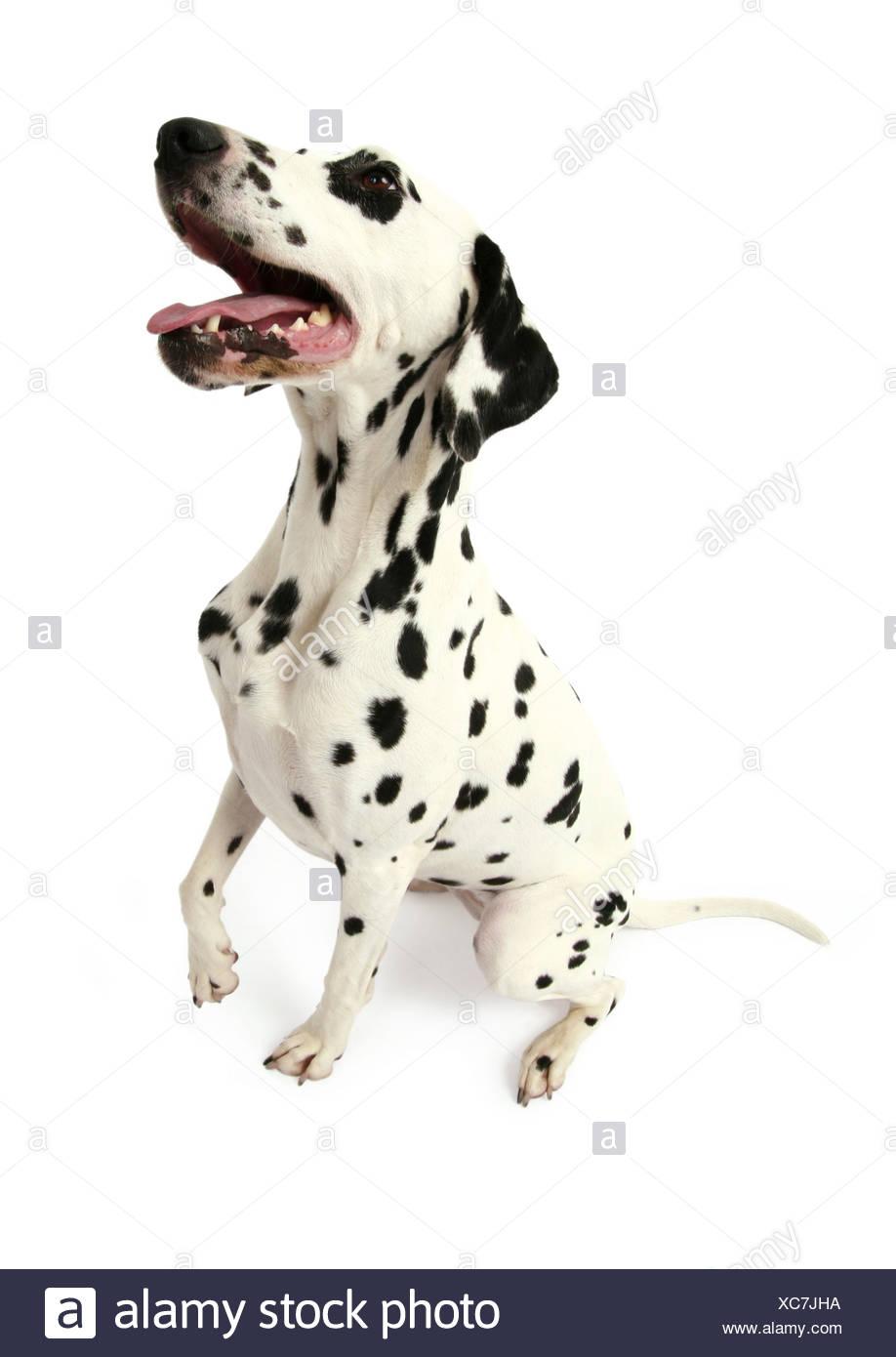 Dalmatian (Canis lupus f. familiaris), Dalmatian panting and waiting for something - Stock Image