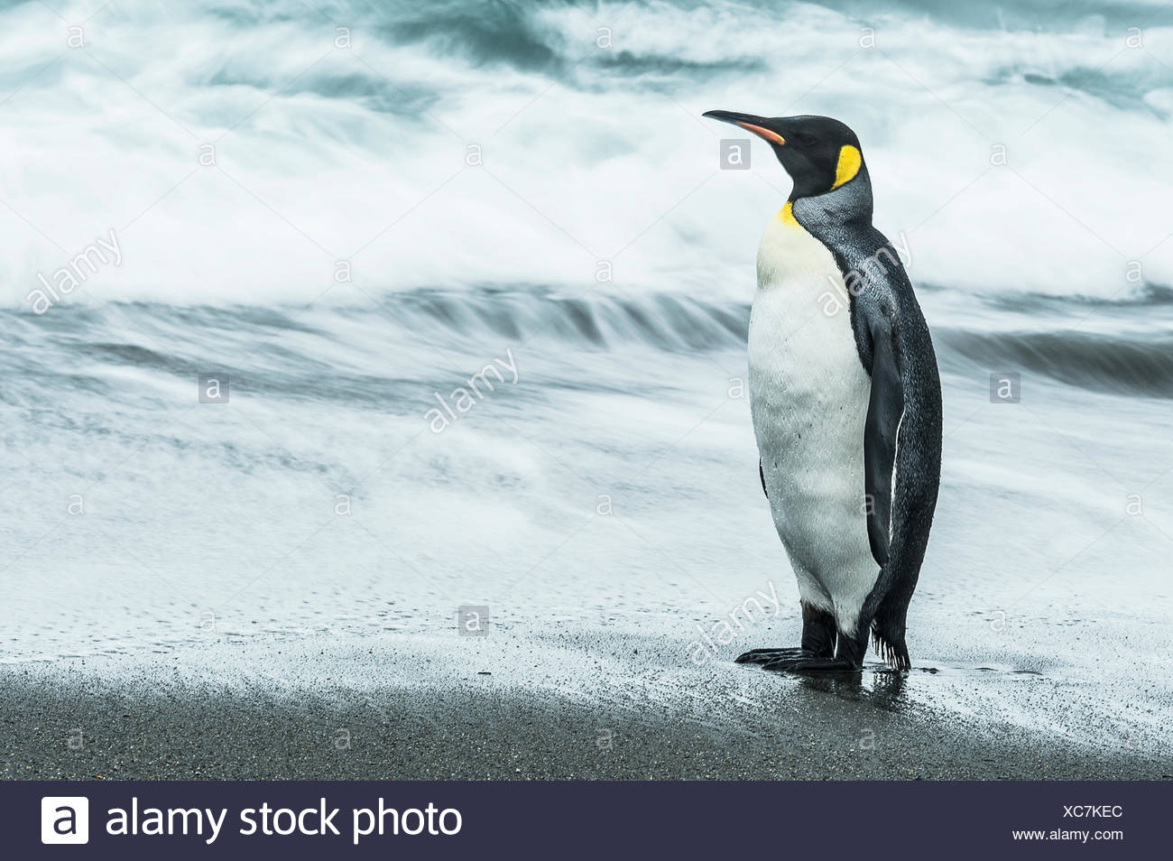 King penguin (Aptenodytes patagonicus) standing on the wet beach; South Georgia, South Georgia and the South Sandwich Islands, United Kingdom - Stock Image