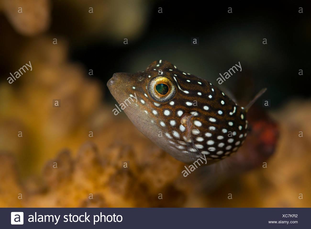 Spotted Sharpnose Puffer, Canthigaster punctatissima, La Paz, Baja California Sur, Mexico Stock Photo