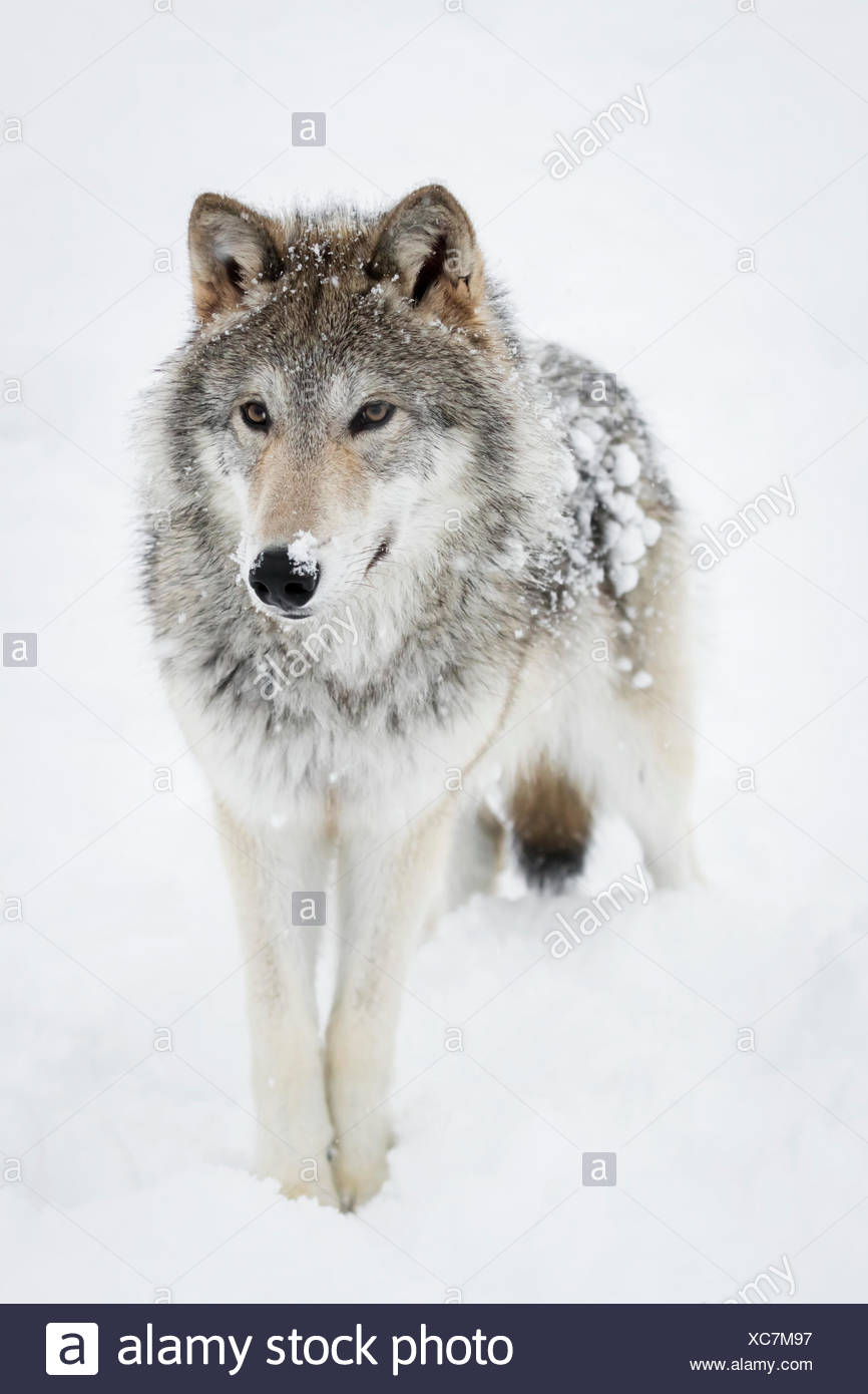 Female tundra wolf (Canis lupus albus) plays and walks around snow, captive at the Alaska Wildlife Conservation Centre - Stock Image
