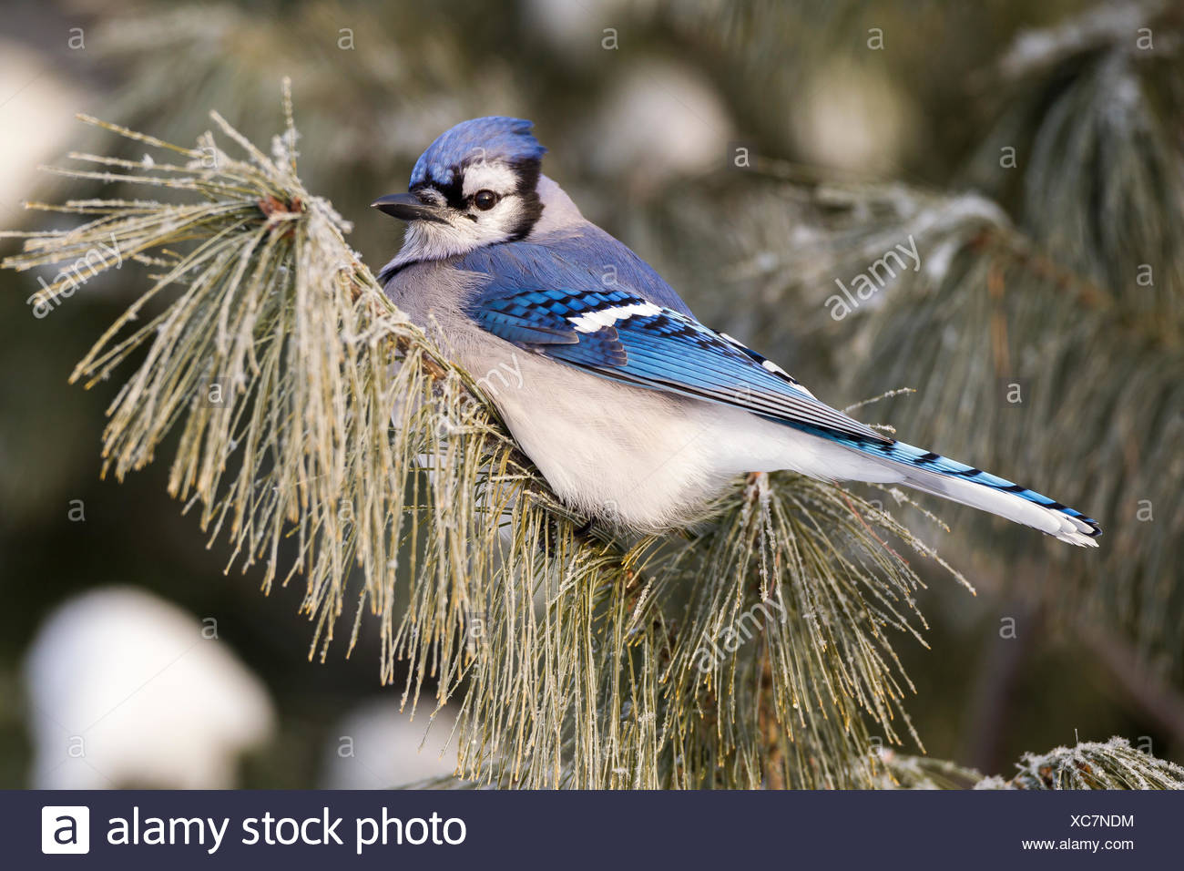 Blue Jay (Cyanocitta cristata) in a frosted pine tree in Algonquin Provincial Park, Ontario, Canada - Stock Image