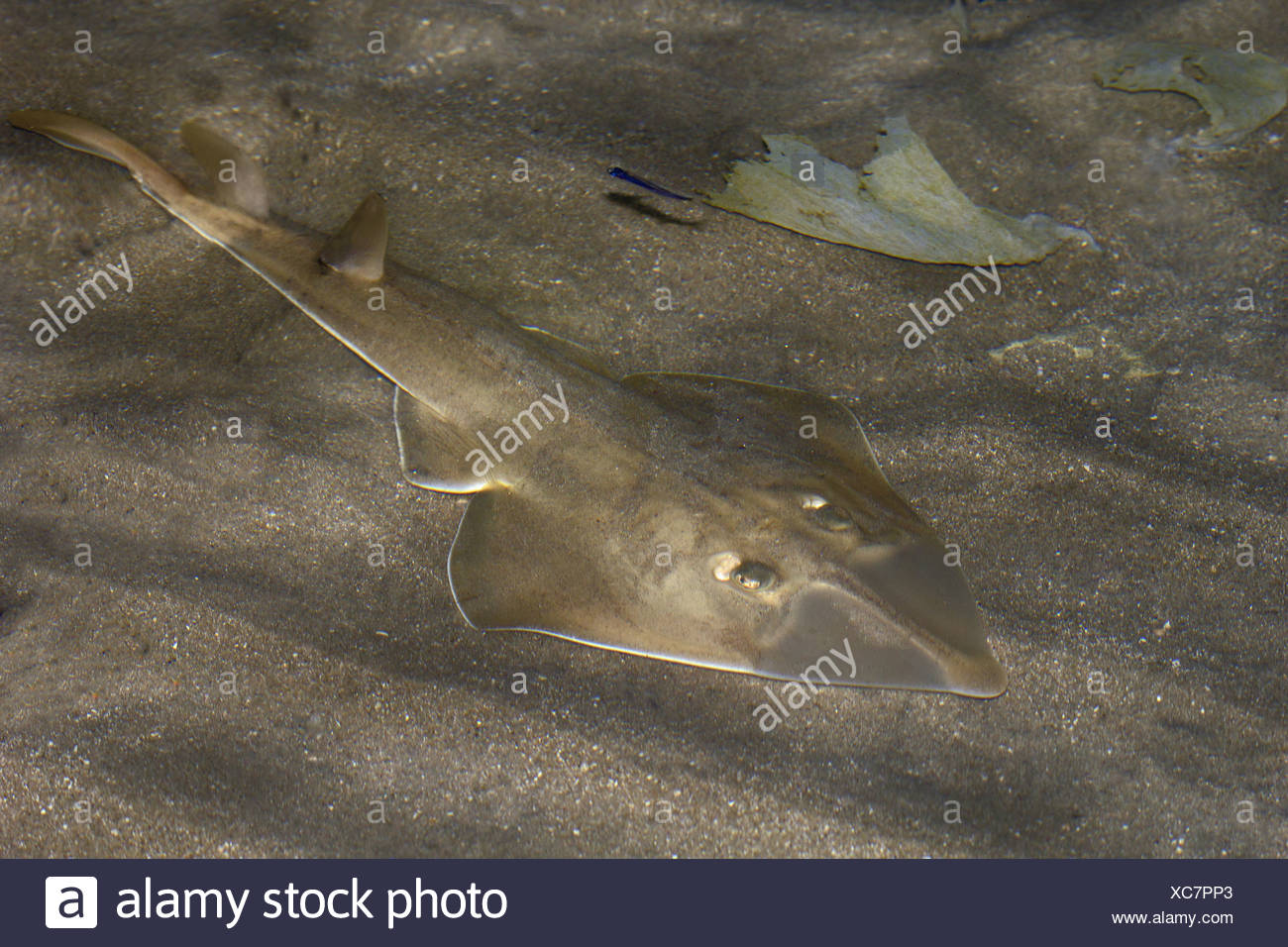 Shovel nosed guitar ray. Family, Rhinobatidae, India - Stock Image