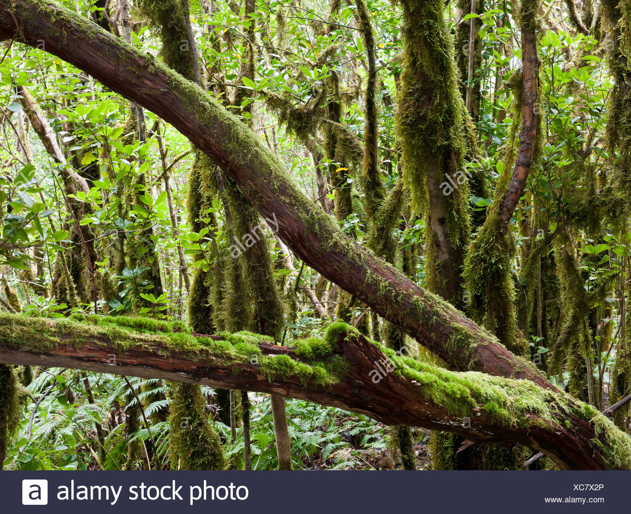Tree covered in moss, primeval cloud forest near Charmorga, northeastern Tenerife, Tenerife, Canary Islands, Spain, Europe - Stock Image