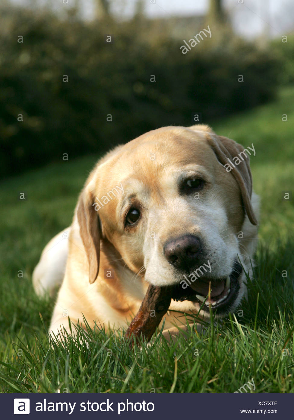 A golden labrador chewing on a stick. - Stock Image