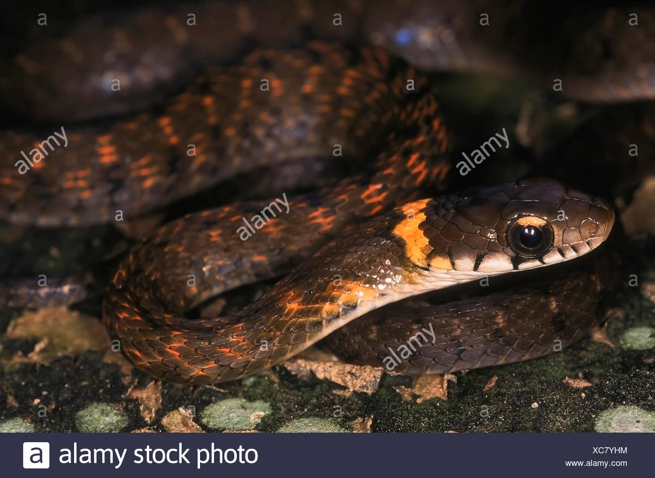 HIMALAYAN KEELBACK Rhabdophis himalayanus. Close up of head and neck. Adult from Changlang district, Arunachal Pradesh, India. - Stock Image