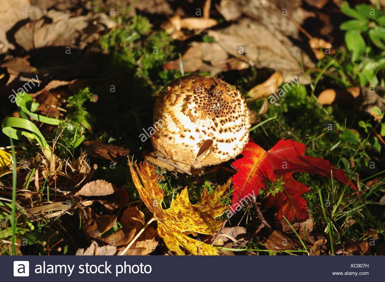 Freckled Dapperling (Lepiota aspera) - Stock Image