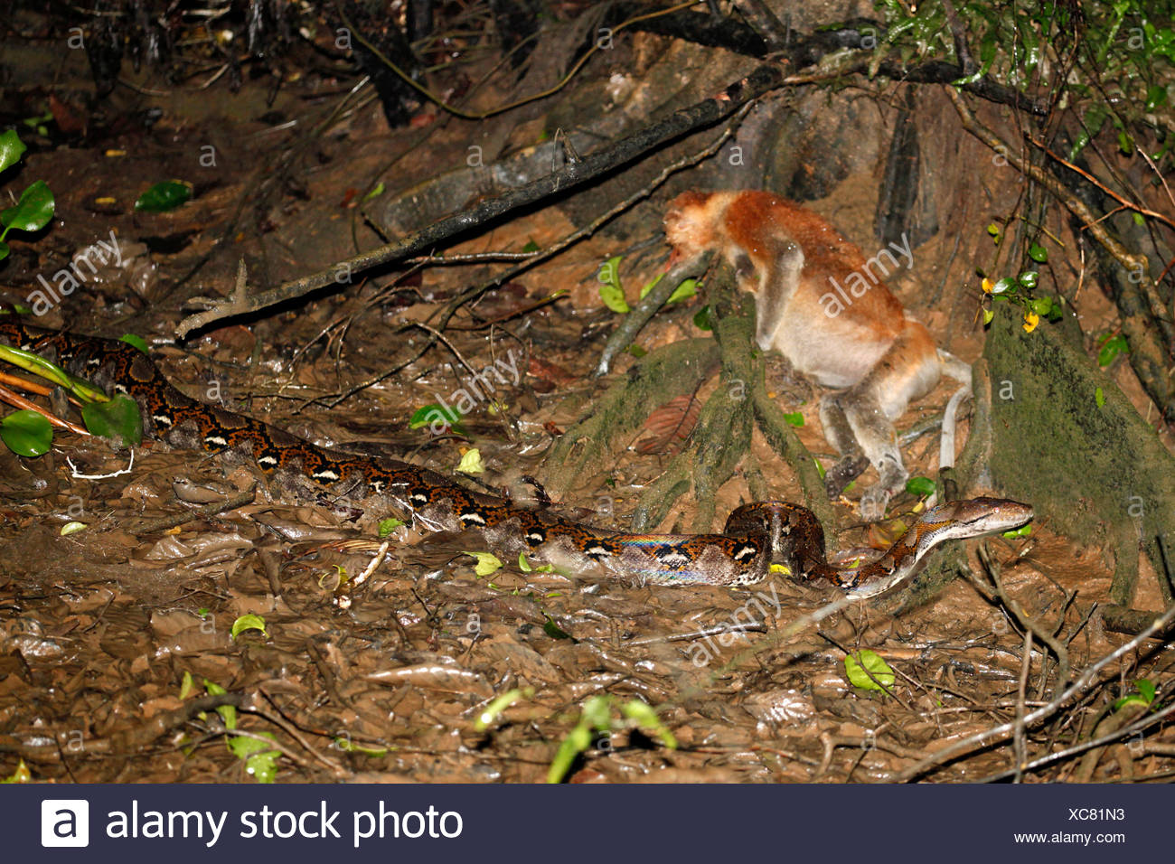 [Image: photo-of-a-enormous-reticulated-python-w...XC81N3.jpg]