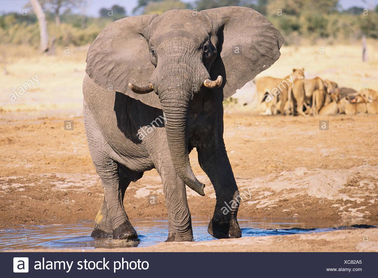 Elephant at Watering Hole - Stock Image