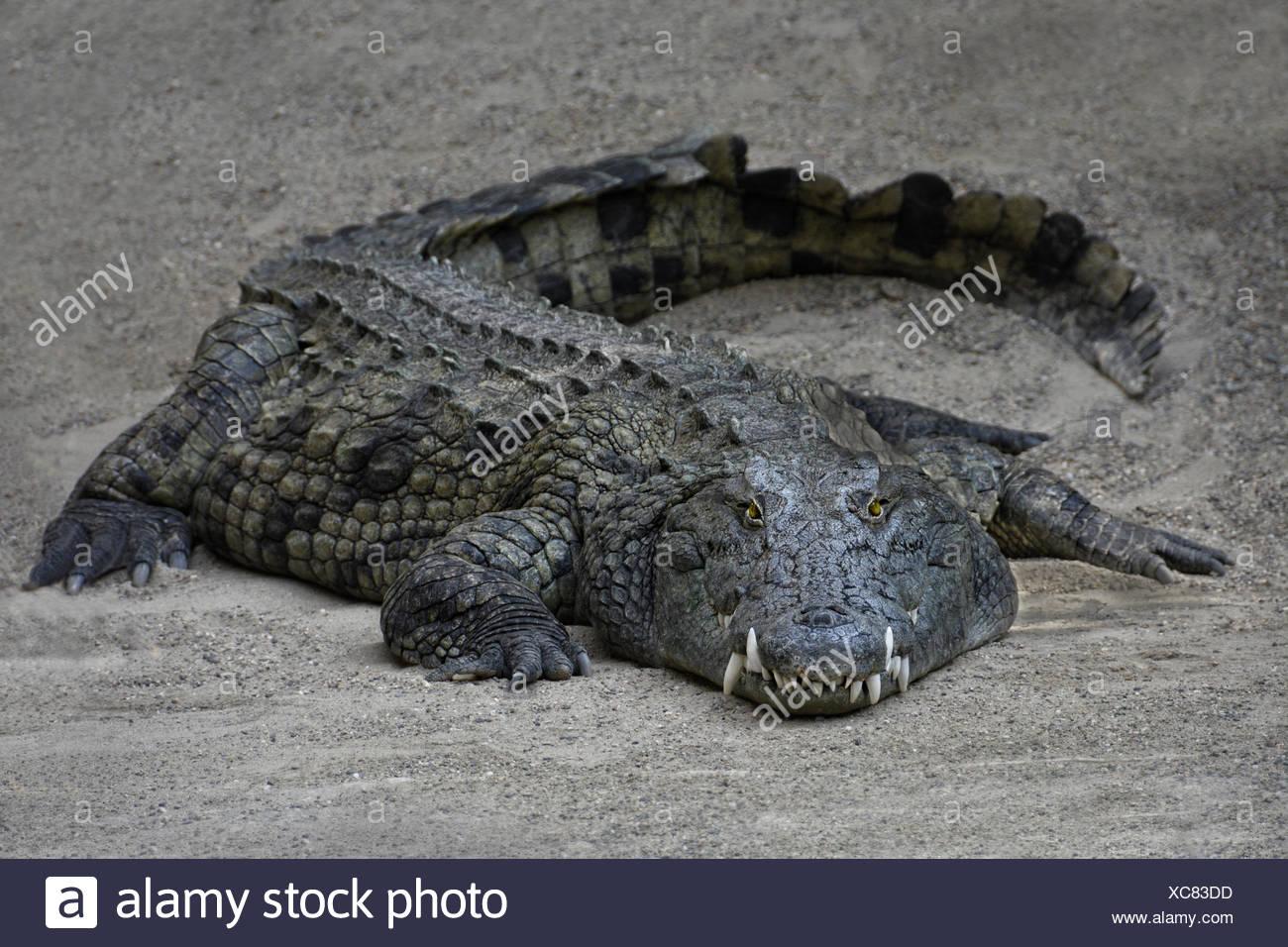 Big Croc - Stock Image