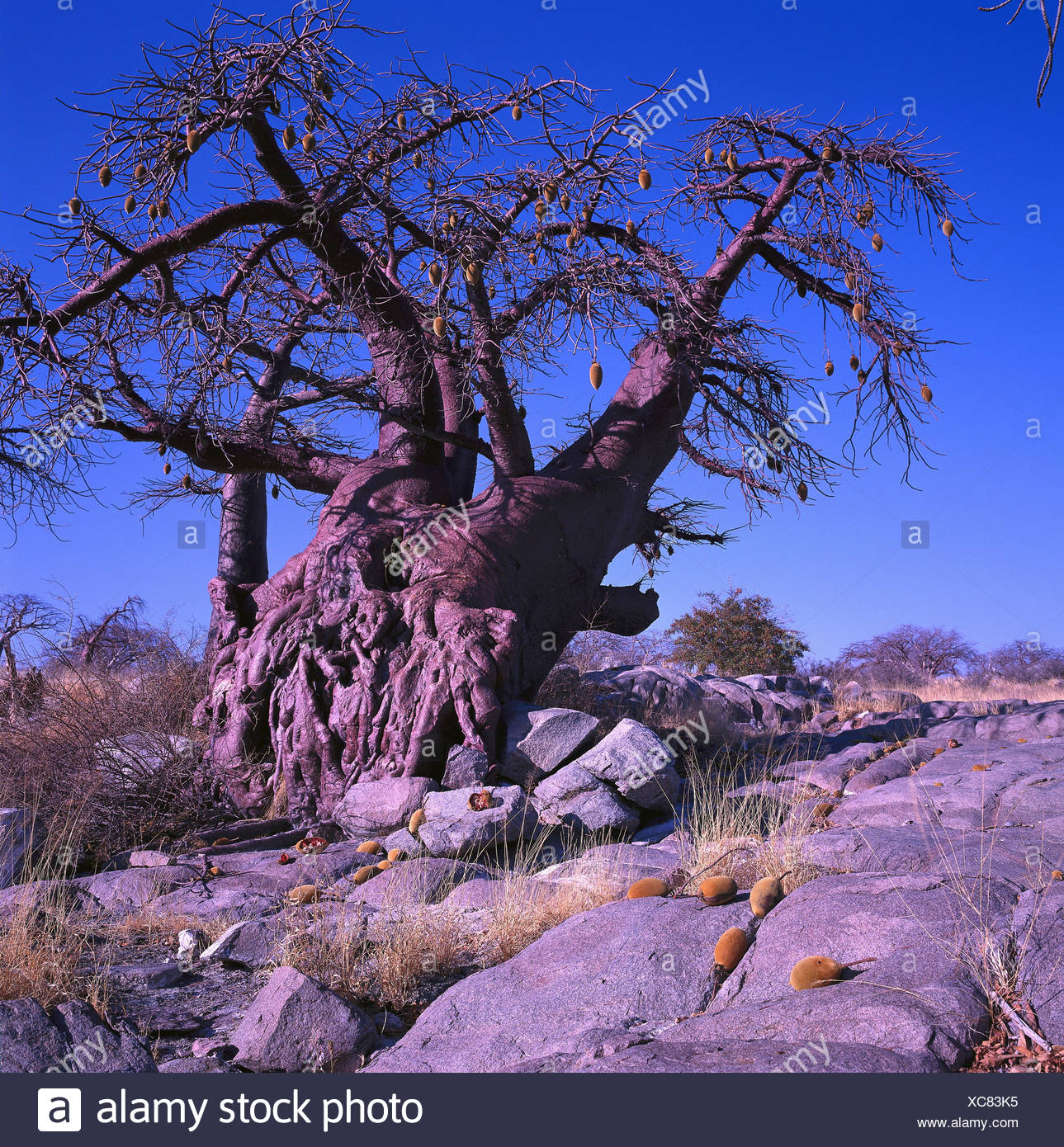 Africa, Botswana, Makgadikgadi, baobab wild nature reserve, Sowa Pan, Kubu Iceland, entries in accordance with. Originator, African baobab, Baobab, Adonsonia digitata, Adansonia, type of tree, wool tree plant genus, steppe tree, tree, steppe trees, trees, sunlight - Stock Image