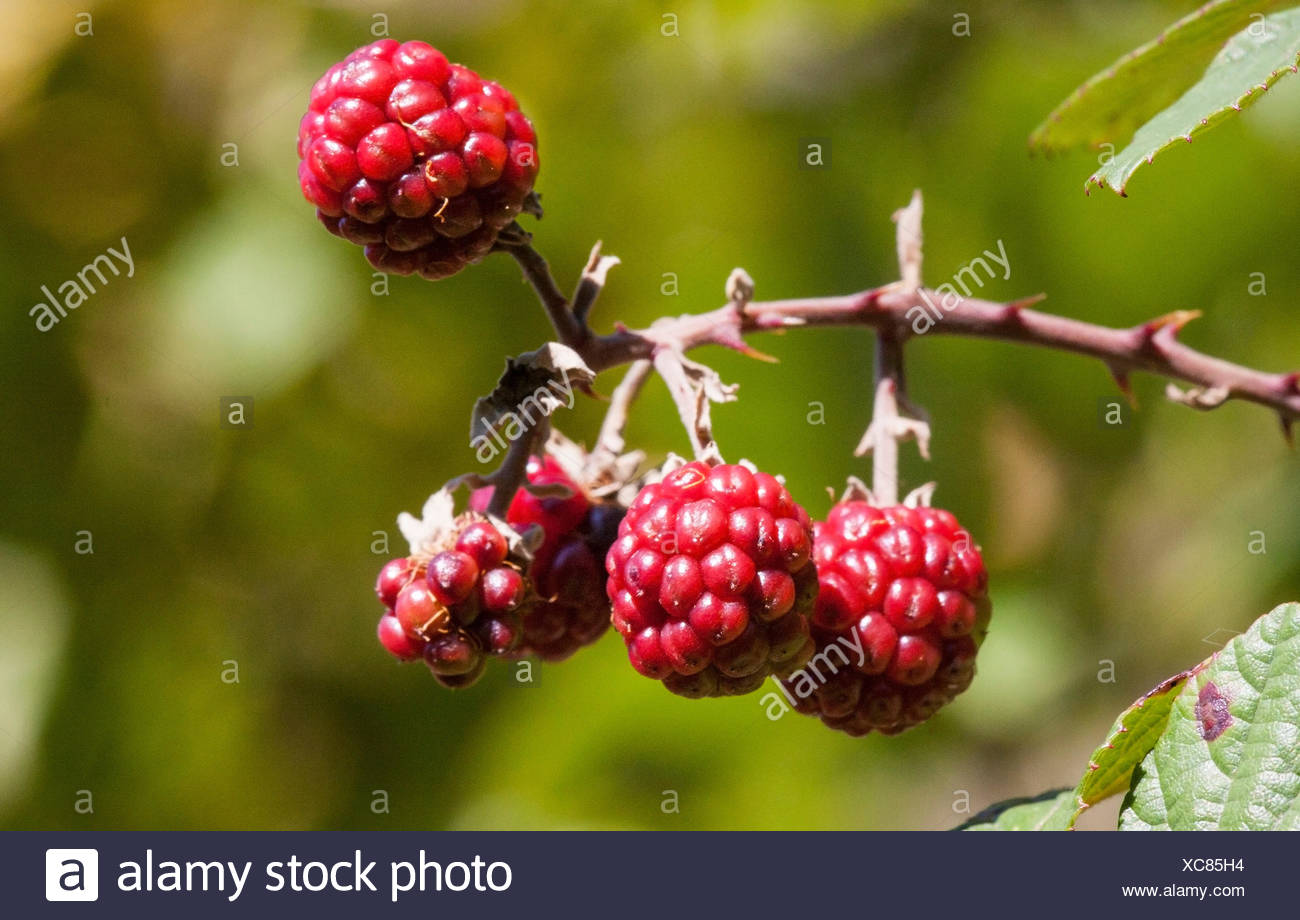More red bramble, Rubus fruticosus - Stock Image