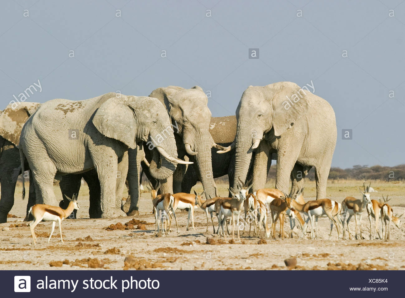 African Elephants (Loxodonta africana) and springboks (Antidorcas marsupialis), Nxai Pan, Makgadikgadi Pans National Park, Bots Stock Photo
